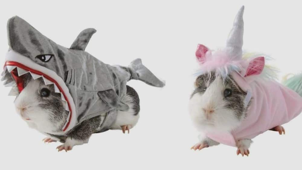 7 Clever Halloween Costumes for your Guinea Pig in 2020