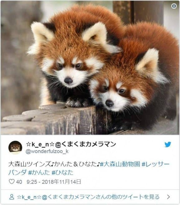 Red Pandas Raise Their Claws to Surrender!