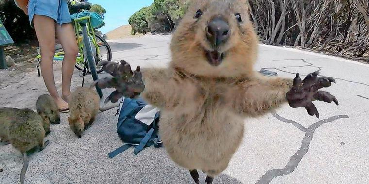 World Most Photogenic Living Creature! Super Adorable Setonix Brachyurus ---- Quokka!
