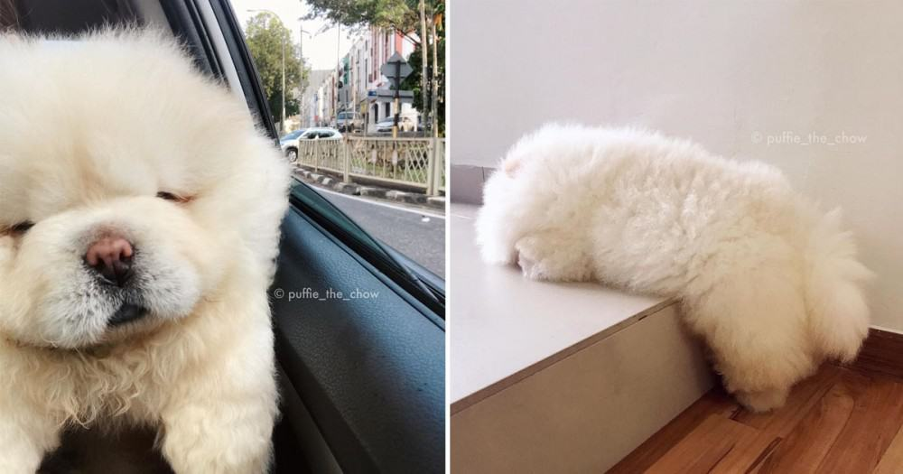 The Most Popular Adorable Dog on Instagram!Who can resist its Fluffy Hair + Blinking Eyes + Short Legs?