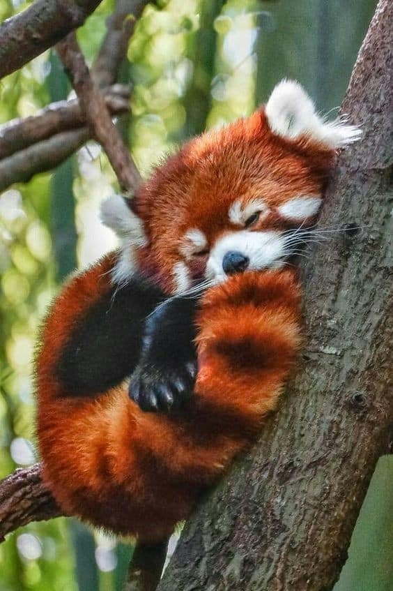 2020 Most Heart Melting Animal Cute Red Panda Raise Their Claws To Surrender Aninspiring Com